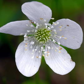 Jill Edwards - Wood Anemone