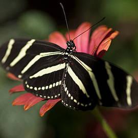 Saija  Lehtonen - Zebra Longwing Butterfly