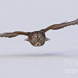 Michael Cummings - Great Gray Owl