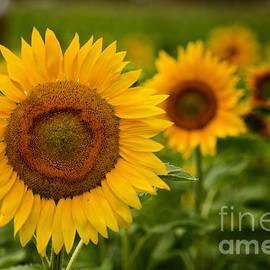 Michael Cummings - Sunflower