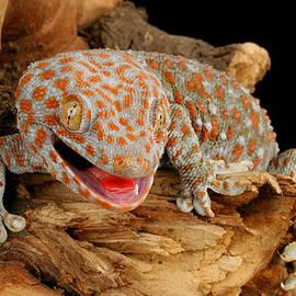John Bell - Tokay Gecko