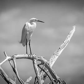 Bill Martin - Snowy Egret