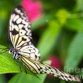 Rene Triay Photography - Gentle Butterfly
