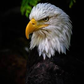 Athena Mckinzie - American Bald Eagle