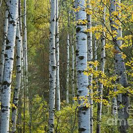 Idaho Scenic Images Linda Lantzy - Aspen Gold