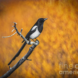 Mitch Shindelbower - Black Billed Magpie