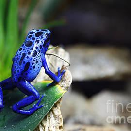 Brandon Alms - Blue Poison Dart Frog