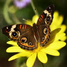 Saija  Lehtonen - Buckeye Butterfly