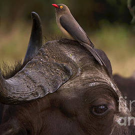 Mareko Marciniak - Buffalo And Oxpecker