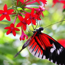 Photographic Art and Design by Dora Sofia Caputo - Butterfly on Red Bush