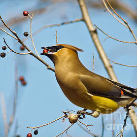 Robert Frederick - Cedar Waxwing With Berry