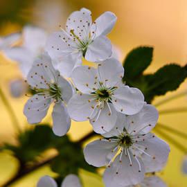 Jouko Lehto - Cherry flowers