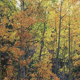 Brian Harig - Colorful Changing Aspens - Divide Colorado