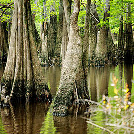 Joan McCool - Cypress Trees