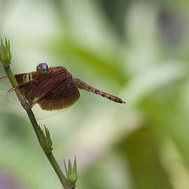 Zoe Ferrie - Dragonfly