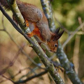 Jouko Lehto - Eurasian red squirrel