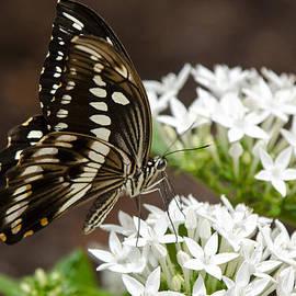 Saija  Lehtonen - Giant Swallowtail Butterfly