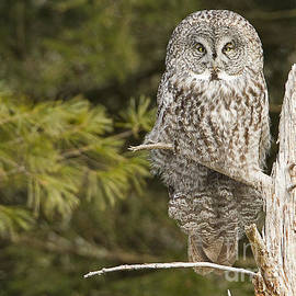 John Vose - Great Grey Owl