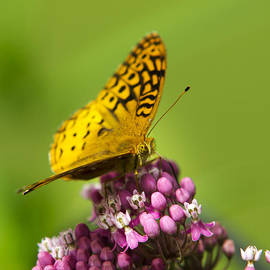 Christina Rollo - Great Spangled Fritillary Butterfly