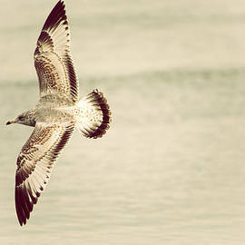 Karol  Livote - Herring Gull in Flight