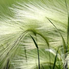 J McCombie - Hordeum Jubatum Grass