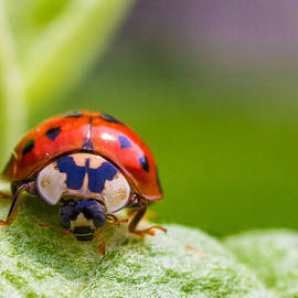 Lowell Monke - Lady Bug On Leaf