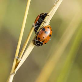 Jean Noren - 2 Ladybugs Crawling