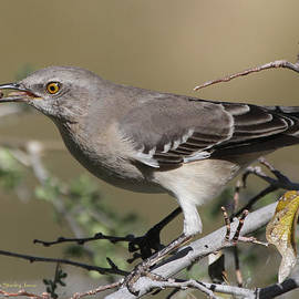 Tom Janca - Mocking Bird With Ripe Hackberry