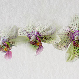 Chris Smith - Orchid