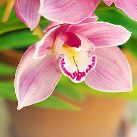 Carlos Caetano - Orchids