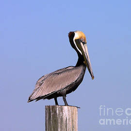 Al Powell Photography USA - Pelican Perch