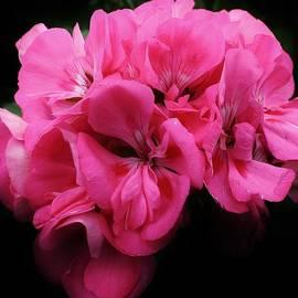 Bruce Bley - Pink Geranium