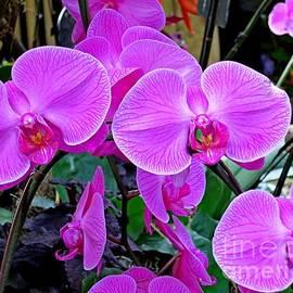 Lena Kouneva - Pink Orchid