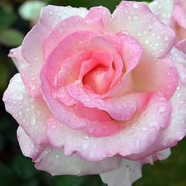 Norng Ti  - Pink Rose