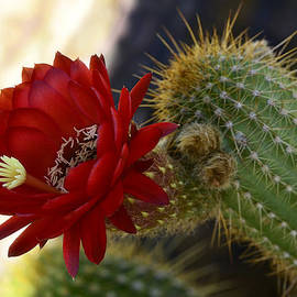 Saija  Lehtonen - Red Torch Cactus
