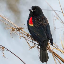 Angie Vogel - Red-winged Blackbird