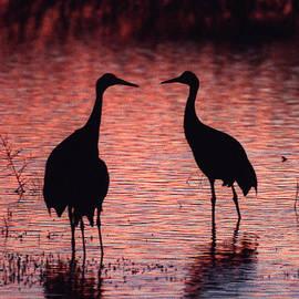Steven Ralser - Sandhill cranes