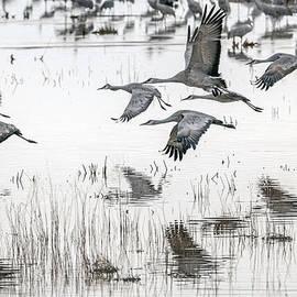Tam Ryan - Sandhill Cranes