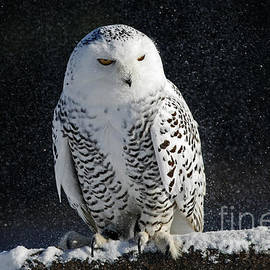 Inspired Nature Photography Fine Art Photography - Snowy Owl on a Twilight Winter Night