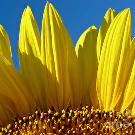Dan Radi - Sunflower