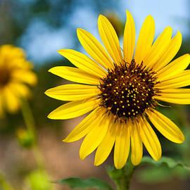 Mark Weaver - Sunflower