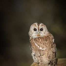 Andy Astbury - Tawny Owl