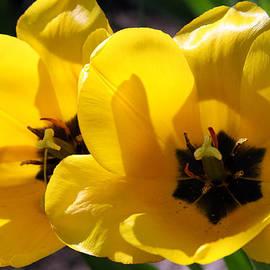 Lali Kacharava - Tulip