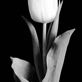 Sebastian Musial - Tulip