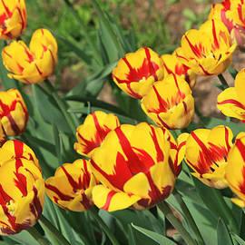 Lali Kacharava - Tulips