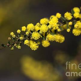 Joy Watson - Wattle Flowers