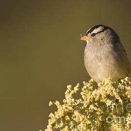 Bryan Keil - White crowned sparrow