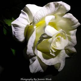 Jeannie Rhode Photography - White Rose