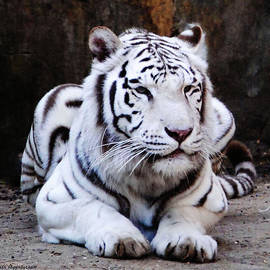 DiDi Higginbotham - White Tiger