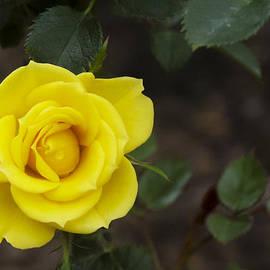 Dennis Reagan - Yellow rose